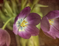 Tulp met textuur Stock Foto's
