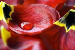 Tulp met waterdaling Stock Afbeeldingen