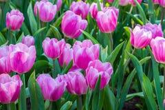 Tulp Mooi boeket van tulpen Stock Foto's