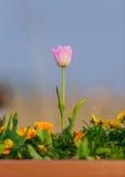 Tulp Mooi boeket van tulpen Stock Afbeelding