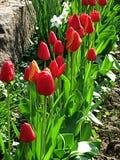 Tulp Mooi boeket van tulpen Kleurrijke tulpen tulpen in de lente, kleurrijke tulp Royalty-vrije Stock Fotografie