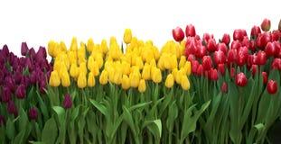 Tulp Mooie Rode die tulpen op witte achtergrond worden geïsoleerd Stock Foto