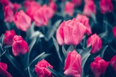 Tulp Mooie roze tulpenbloemen in de lentetuin, bloemenachtergrond royalty-vrije stock afbeelding