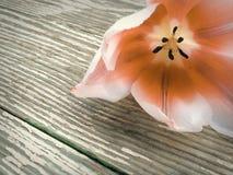 Tulp op de donkere achtergrond van schuur houten planken Stock Afbeeldingen