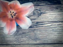 Tulp op de donkere achtergrond van schuur houten planken Stock Afbeelding