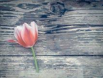 Tulp op de donkere achtergrond van schuur houten planken Royalty-vrije Stock Afbeelding