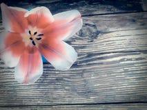 Tulp op de donkere achtergrond van schuur houten planken Royalty-vrije Stock Afbeeldingen