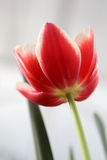 Tulp op grijze achtergrond Stock Afbeeldingen