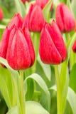 Tulp op het gebied Stock Foto