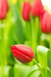 Tulp op het gebied Royalty-vrije Stock Afbeeldingen