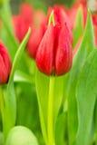 Tulp op het gebied Stock Foto's