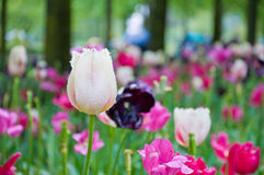 Tulp op het Tulpengebied Stock Afbeeldingen