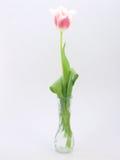 Tulp op witte achtergrond Royalty-vrije Stock Foto's