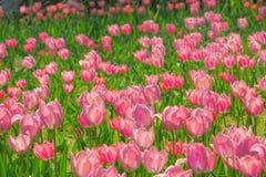 Tulp in regen Stock Afbeeldingen