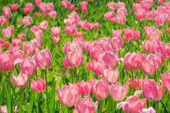 Tulp in regen stock foto's