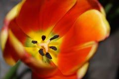 Tulp Rode, heldere wildflower Royalty-vrije Stock Afbeelding