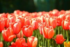 Tulp in rood royalty-vrije stock fotografie