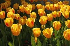 Tulp, Soort Juliette in de lente Stock Afbeeldingen