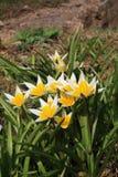 Tulp (Tulipa) royalty-vrije stock afbeelding