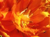 Tulp (Tulipa Gesmeriana) Royalty-vrije Stock Afbeelding