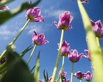 Tulp van onderaan stock foto