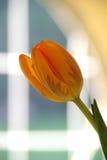 Tulp in Venster Royalty-vrije Stock Afbeeldingen