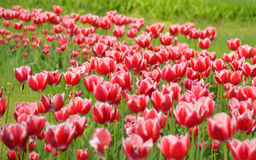 Tulp Verse rode tulpenopen plek Gebied met rode tulpen Rode tulpenachtergrond Groep rode tulpen in het park De lente Royalty-vrije Stock Afbeeldingen