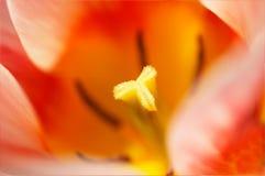 Tulp voor achtergronden Royalty-vrije Stock Afbeeldingen