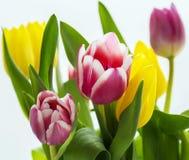 Tulpan är den ljusa närbilden med bokeh Royaltyfria Foton