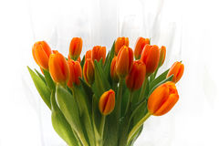 Tulpan är ljusa Royaltyfri Fotografi