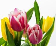 Tulpan är ljusa purples och gulingar Fotografering för Bildbyråer