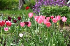 Tulpan arbeta i trädgården plats royaltyfri foto