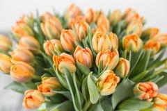 Tulpan av orange färg Stora knoppar av mångfärgade tulpan Blom- naturlig bakgrund Bicolour tulpan fylld bild Royaltyfri Fotografi
