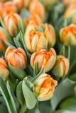 Tulpan av orange färg Stora knoppar av mångfärgade tulpan Blom- naturlig bakgrund Bicolour tulpan fylld bild Royaltyfri Bild