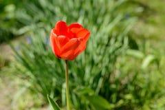 Tulpan av röd färg Fotografering för Bildbyråer