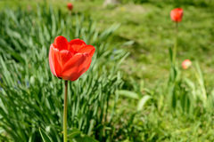 Tulpan av röd färg Royaltyfria Bilder