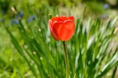 Tulpan av röd färg Arkivbild