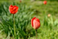 Tulpan av röd färg Arkivfoton