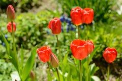 Tulpan av röd färg Royaltyfri Fotografi