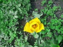 Tulpan blomma Fotografering för Bildbyråer