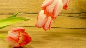 Tulpan blomstrar i röd-guling fotografering för bildbyråer