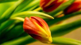 Tulpan blomstrar i röd-guling arkivbilder