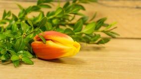 Tulpan blomstrar i rött och gult royaltyfria bilder