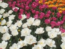 Tulpan-dröm blommor royaltyfria foton