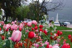Tulpan färgrika växande tulpan på blomsterrabatten i Annecy Tulpan fjädrar in Arkivfoto