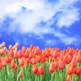 tulpan för blå sky arkivbilder