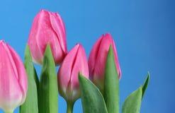 tulpan för blå sky Royaltyfri Bild