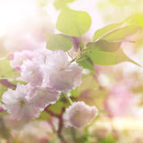 tulpan för fjäder för fokus för blomma för bakgrundskant avlägsen Royaltyfri Fotografi