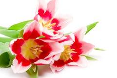 tulpan för pink tre Fotografering för Bildbyråer