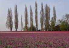 tulpan för poplartrees Fotografering för Bildbyråer